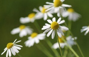 camomilla-fiore