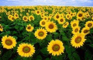 fiori-girasole