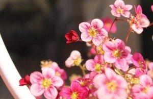 sassifraga-neon-rose