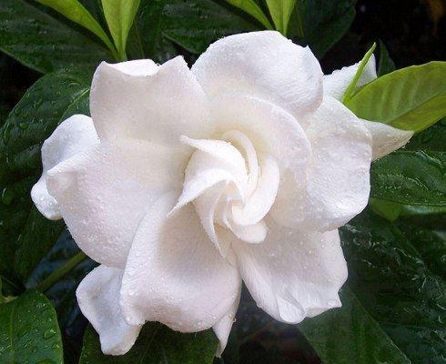 Lasciati conquistare dai profumatissimi fiori bianchi for Nomi di fiori bianchi profumati
