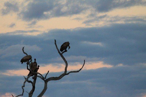 avvoltoi-kruger