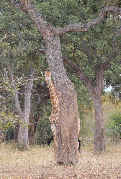 giraffa-kruger