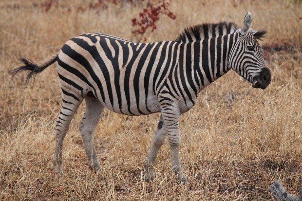 zebra-kruger