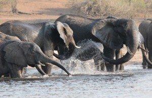 elefanti-chobe