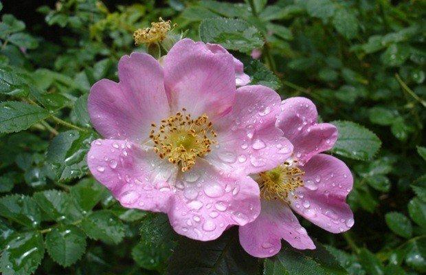 Le benefiche propriet dell 39 olio di rosa mosqueta rose for Arbusto dai fiori rosa e bianchi