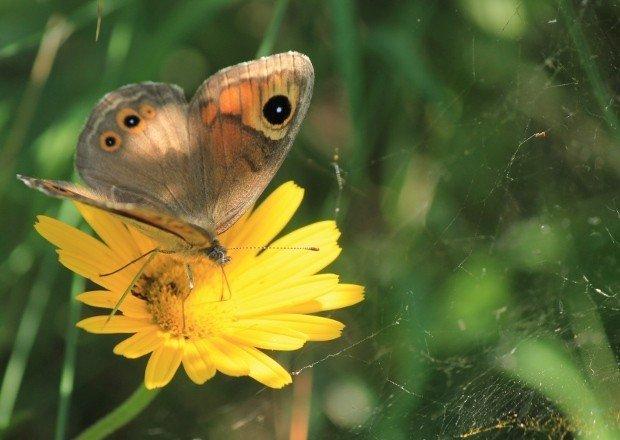 col-campeggia-farfalla