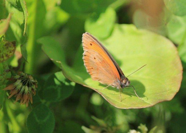 farfalla-col-campeggia