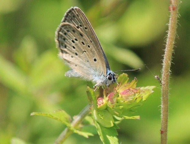 farfalla_col_campeggia