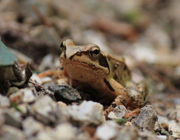 rana-col-campeggia