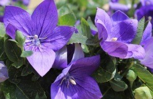 campanula_giapponese