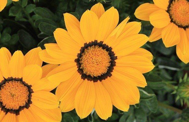 gazania-fiore
