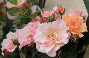 rose_rampicanti