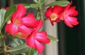 fiore-rosa-del-deserto