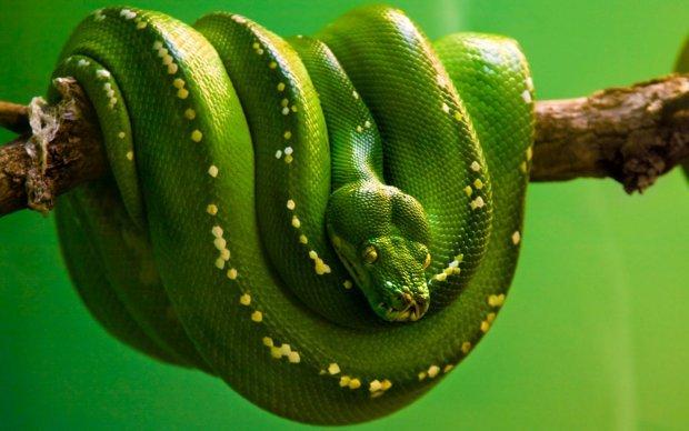 anaconda-verde