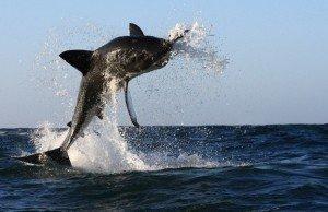 squalo-bianco-salto