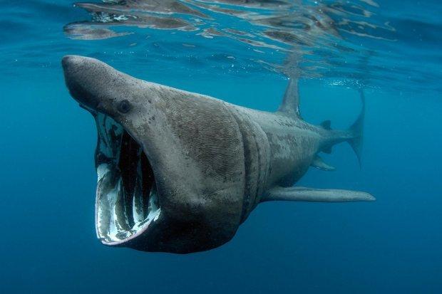 squalo-elefante