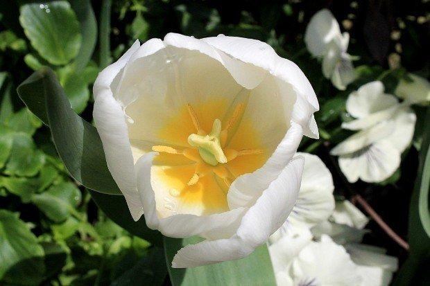 tulipani-bakker-bianco