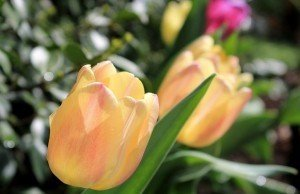 tulipani-bakker-colorati