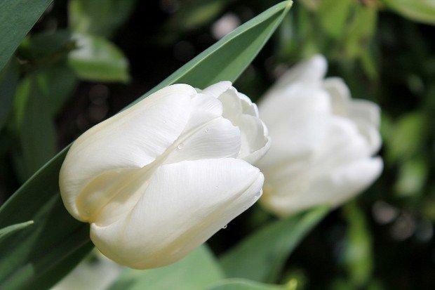 tulipani bakker mix arcobaleno giallo bianco viola