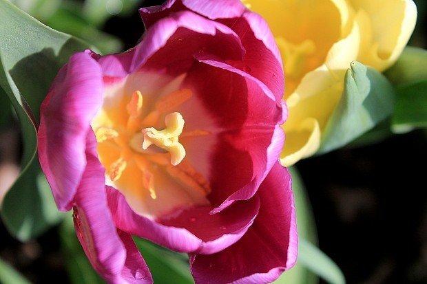 tulipani-bakker-viola