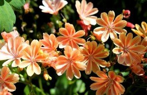 lewisia-pianta-perenne