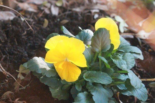 viola-cornuta-gialla